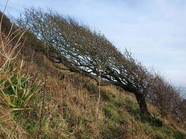 Thorn bush above the Mew Stone