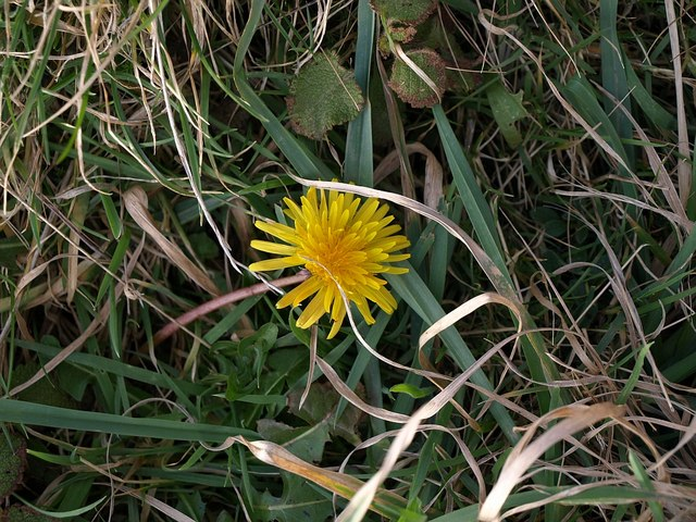Dandelion by the coast path