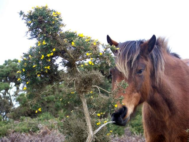 New Forest Pony, Hampton Ridge