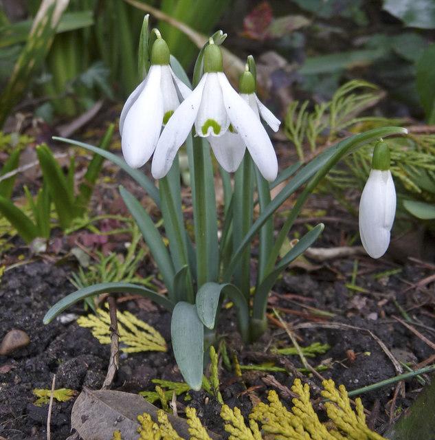 Common Snowdrop (Galanthus)