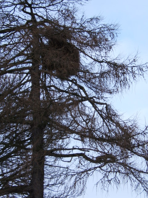 Larch tree with strange growth