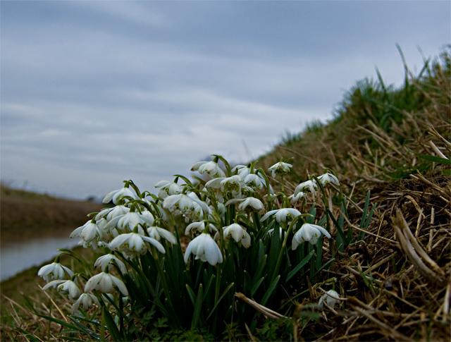 Monk Dike snowdrops, near Long Riston