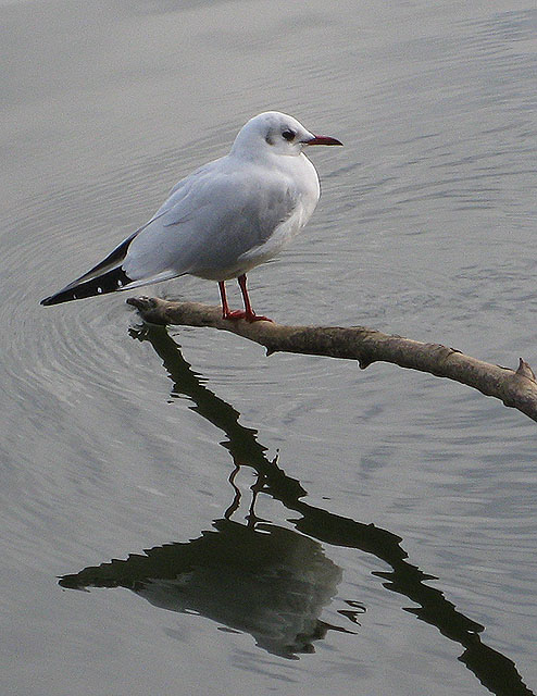 Black-headed gull and his reflection