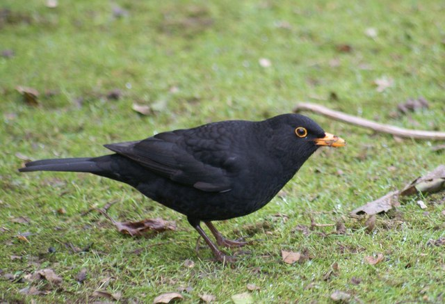 A Blackbird Looking For Worms At Lotherton Hall