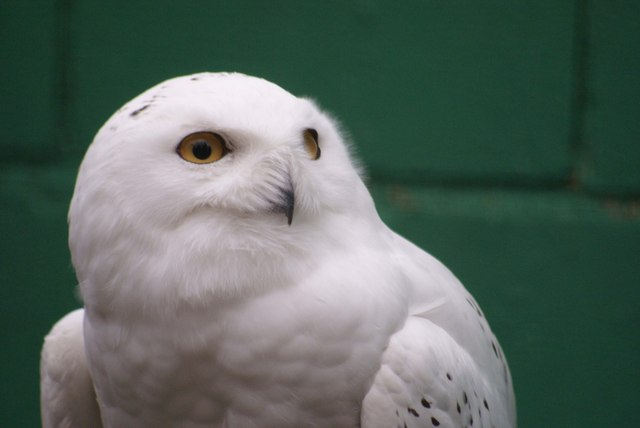 Snowy Owl At Lotherton Hall Bird Garden