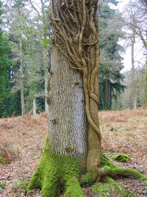 Tree trunk, Sloden Inclosure