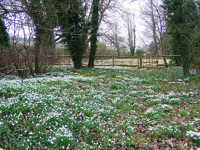 Snowdrops, Homington