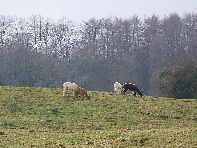 Alpaca, Shute Farm