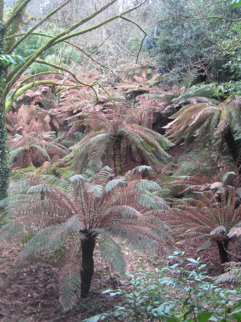 Tree Ferns (Dicksonia antarctica) in the Tree Fern Pit at Trewidden Garden