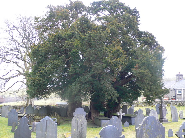 Three yews at St John's Church, Ysbyty Ifan