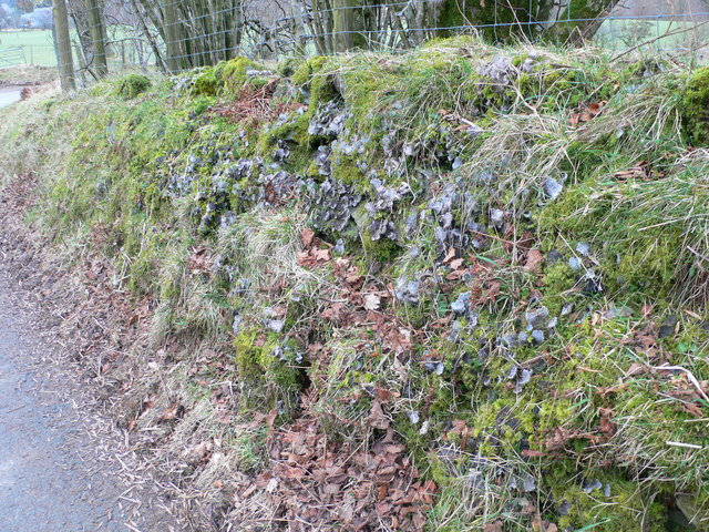 Moss and lichen covered wall on the road to Hafod Ifan