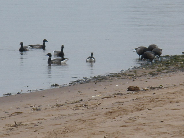 Brent Geese, on the Exe Estuary