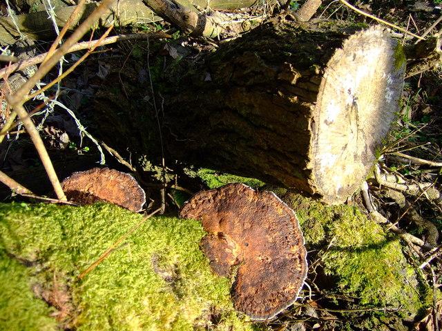 Maze-gill fungus (Daedalea quercina)
