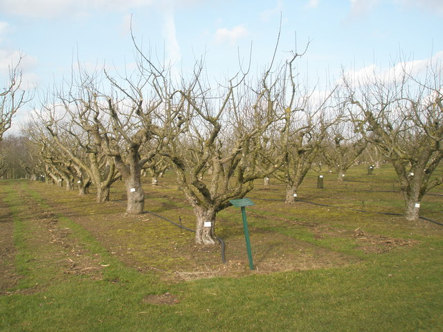 Culinary apple cultivars within RHS Wisley