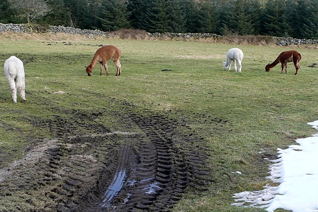 Alpacas at Laughter Hole
