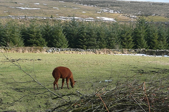 Alpaca at Laughter Hole