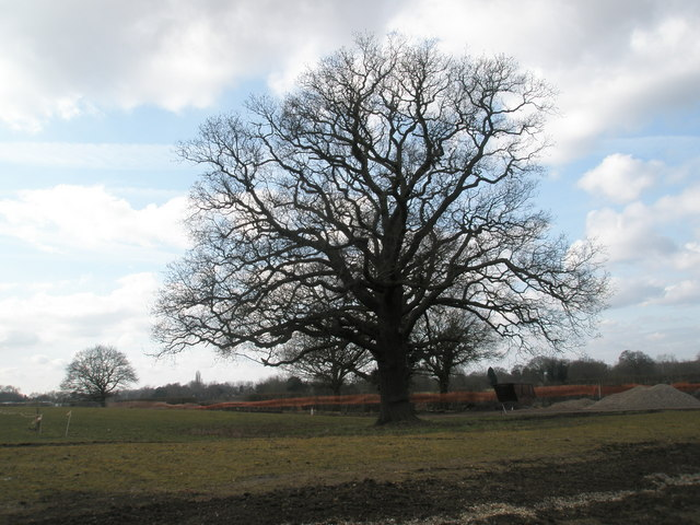 Impressive winter tree at RHS Wisley