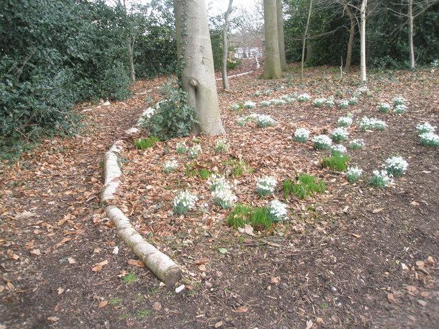 Snowdrops on Battleston Hill East