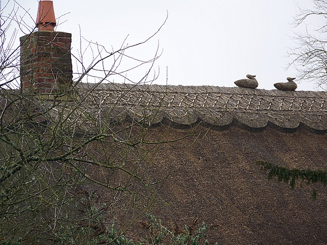 Ducks on the roof, Donhead St Mary