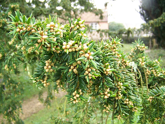 Common or English Yew (Taxus baccata )