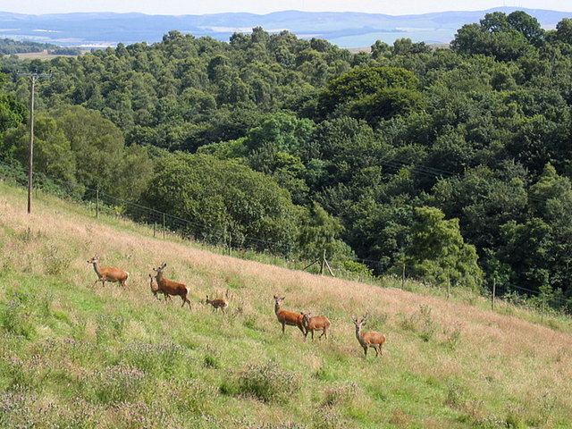 Red Deer on Peel Farm, near Lintrathen