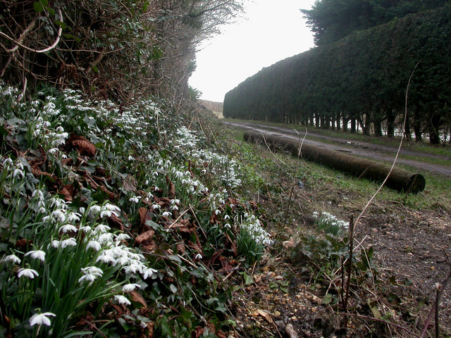 West Parley, snowdrops