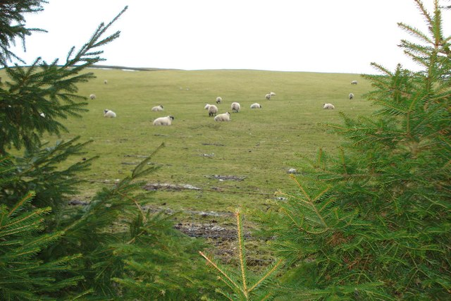 Sheep grazing on the side of Cavarra Hill