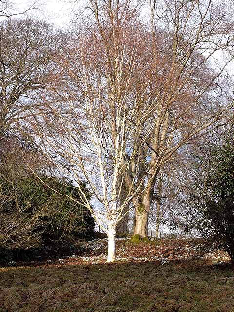 Silver birch and snowdrops in Belsay Gardens