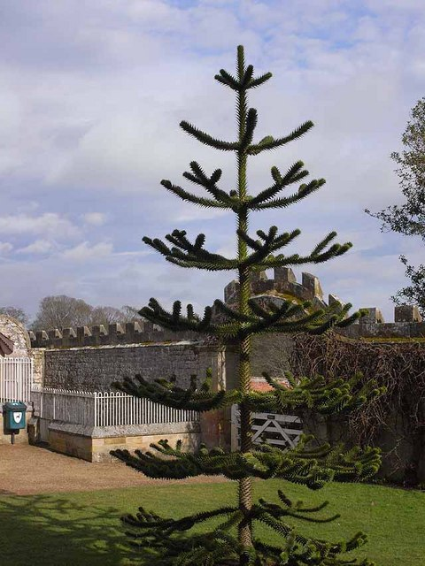 Monkey puzzle at Belsay Castle
