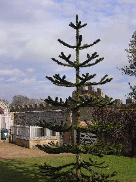 Monkey puzzle at Belsay Castle