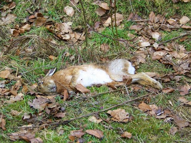 Dead hare, Studhampton Bottom