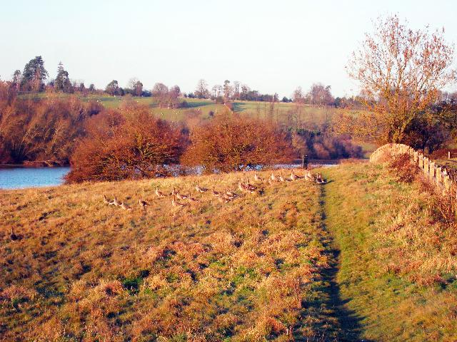 Geese at Bewl Water