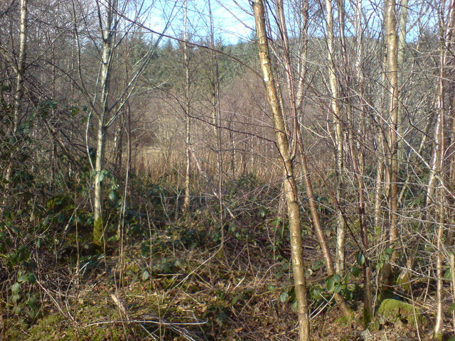 Young birch infilling a cleared plantation