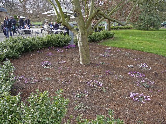 Cyclamen, Kew Gardens, Kew, Surrey