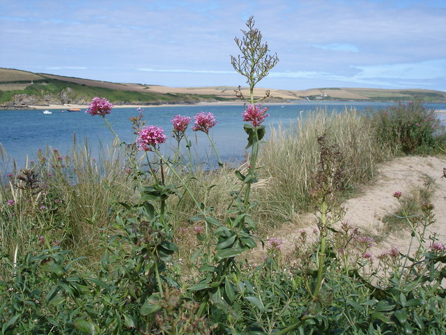 Red Valerian - Centranthus ruber - view across the Camel Estuary