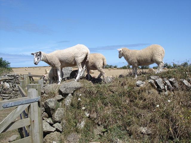 Sheep - near Pentire Farm