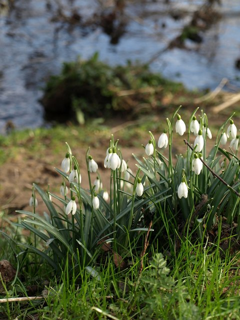 Snowdrops by the Teign