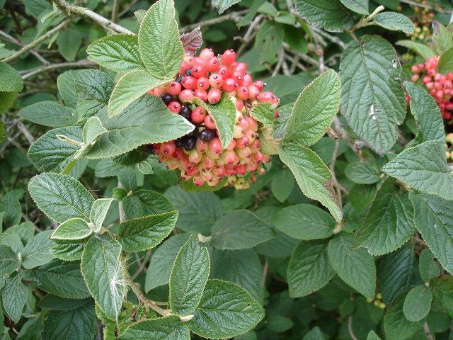 Wayfaring Tree - Viburnum lantana