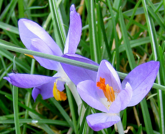 Pale purple crocuses