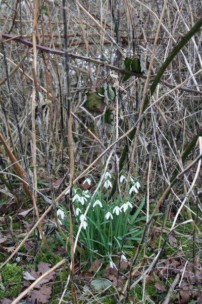 Snowdrops in the weeds