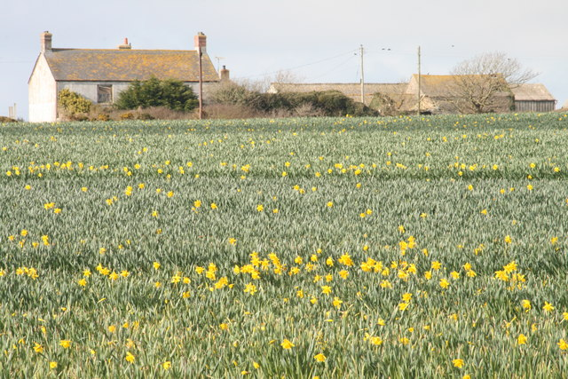 Bosanketh Farm with daffodils