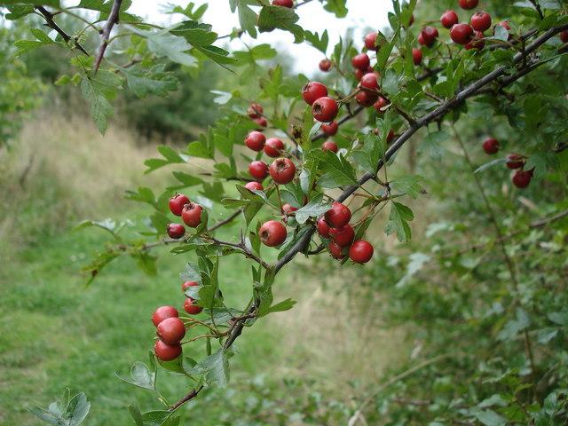 Hawthorn berries - Crataegus monogyna