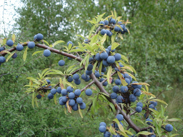 Blackthorn fruit (sloes) - Prunus spinosa