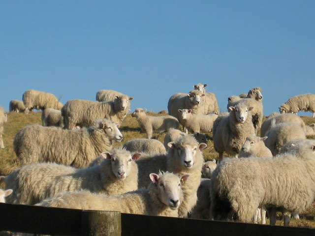 Sheep on Beaminster Down