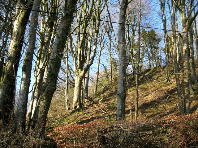 Beech trees on White Sheet Hill