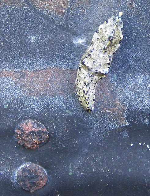 Chrysalis or pupa