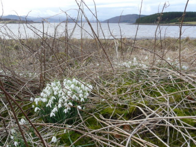 Dornoch Firth: snowdrops at Newton Point