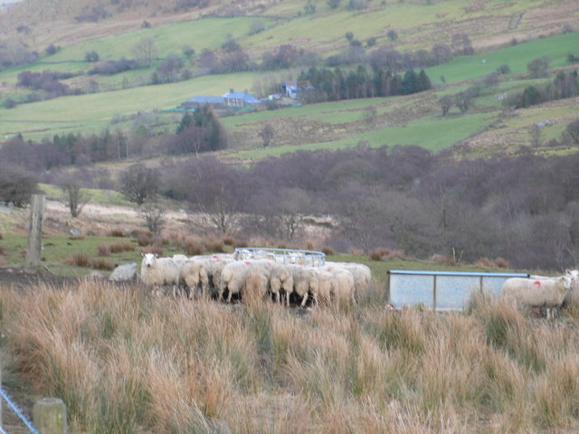 Extra winter feeding for sheep