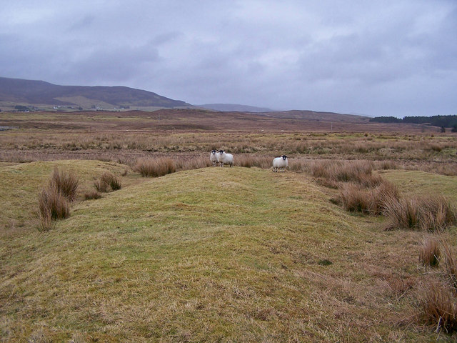 Sheep on lazybeds