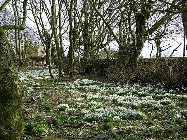 Snowdrops at Mains of Knockhall
